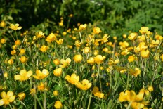 Buttercups... a vivid reminder of bright life!