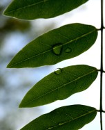 Raindrops on leaves... when's that one gonna fall?