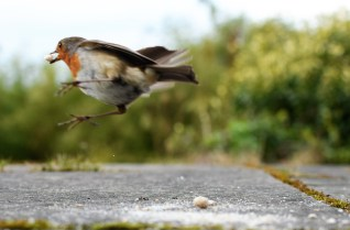 Hopping happy... robin making his escape...