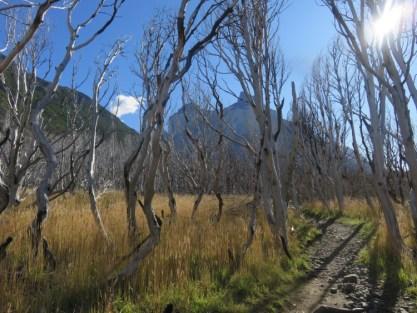 Arbres morts brulés Torres del Paine Patagonie Chili