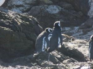 Pingouins Ancud Île Chiloé Chili