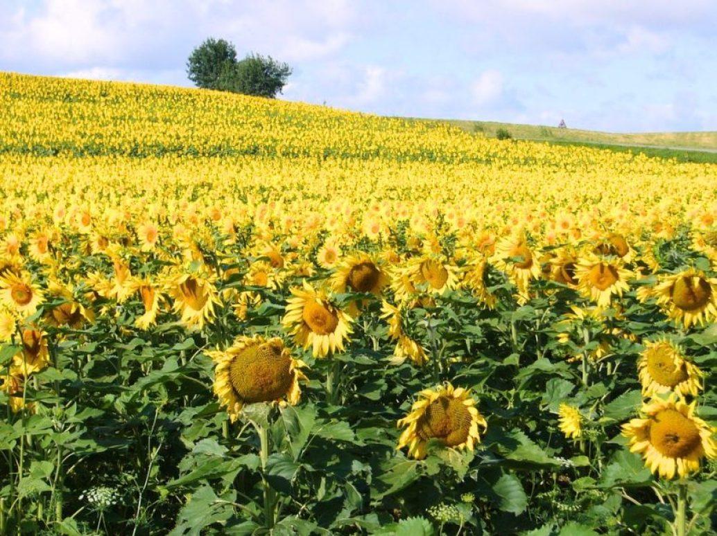 sunflowers-in-paris