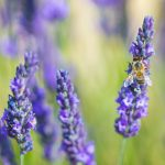 Honey bee collecting nectar from lavender blooms.
