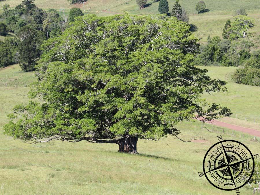 Großer Baum auf dem Nachbarfeld