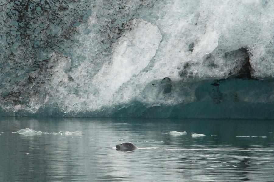 Robbe in der Gletscherlagune Jökulsárlón