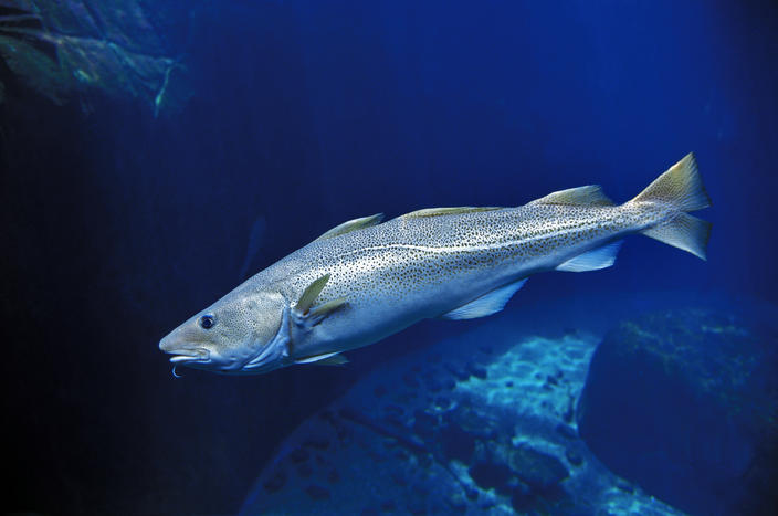Onboard monitoring needed to prove North Sea Cod not illegally discarded