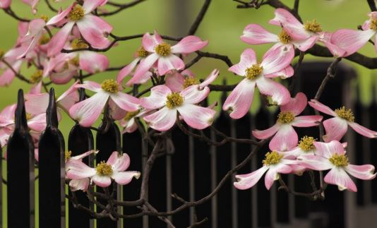 Cornus Florida - we have this in our garden. Beautiful flowers late Spring
