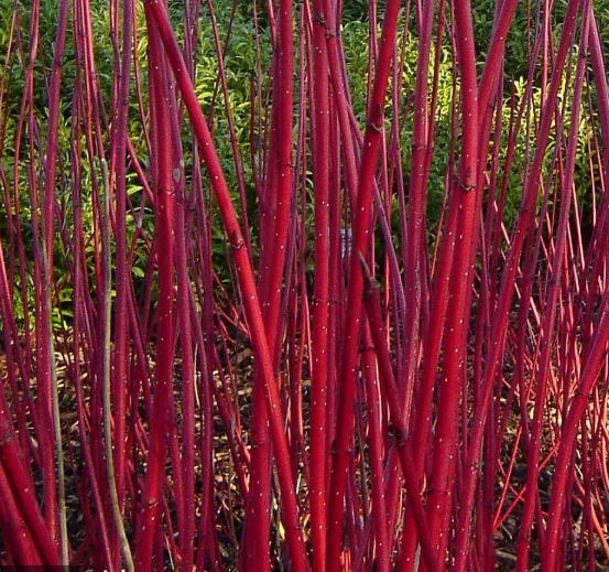 Stunning bright red branches in the Winter