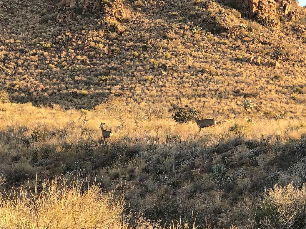 Mule Deer Big Bend National Park