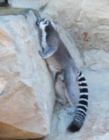 Thirsty lemur