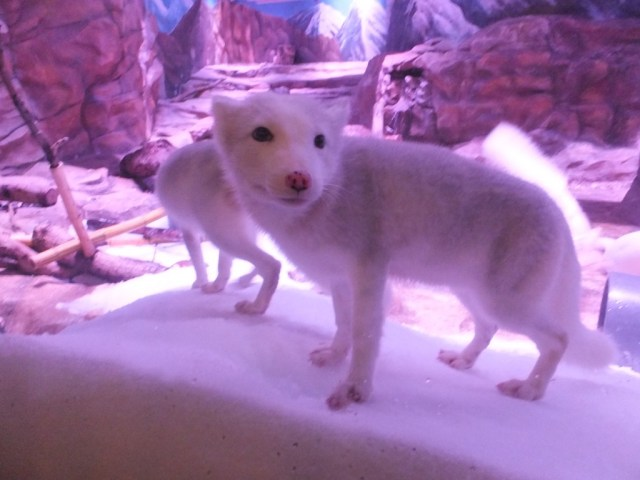 Artic Fox enclosure, there cute enough to take home. Customs found these ones being illegally imported.