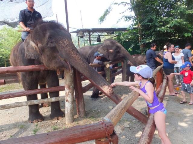 Alannah feeding the elephant papaya.