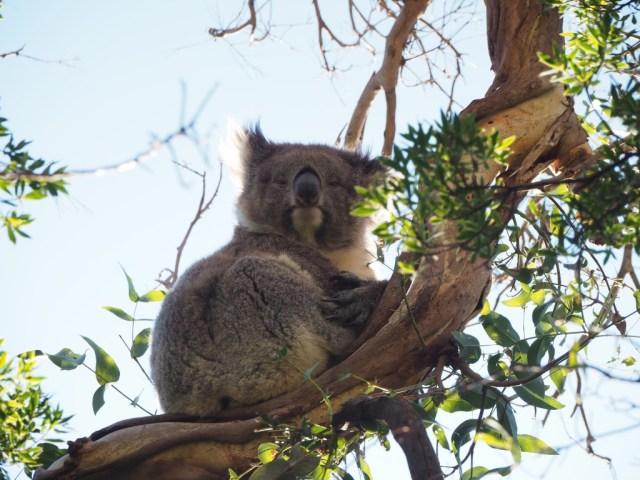 Koala - Cape Otway National Park
