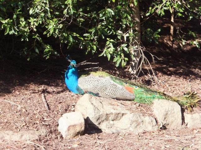 Peacocks - Cataract Gorge