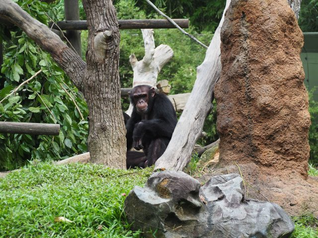 Singapore Zoo Chimps