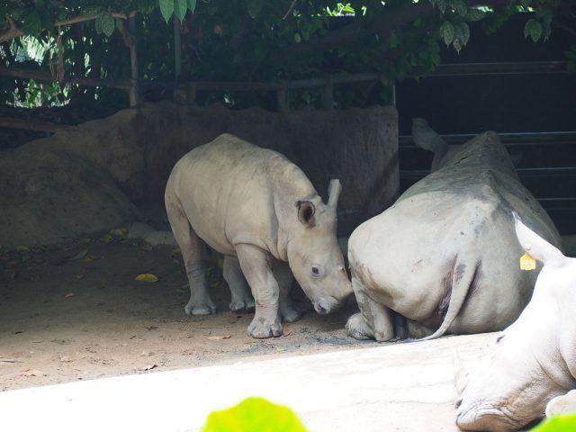 Singapore Zoo rhinos