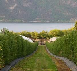 Rows of fruit trees line our way to the ferry