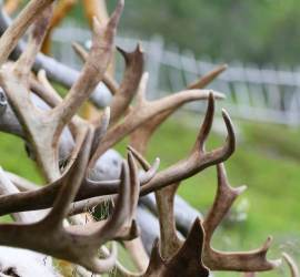 Reindeer antlers for sale