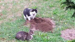 Black and white cat and tabby cat watch a mole hill.