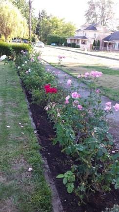 Vintage rose garden with mulch
