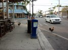 Chickens roaming Duval St. in Key West, FL