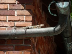 Lizard suns itself on drain pipe