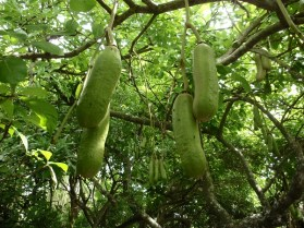 Sausage tree with green flower pods.