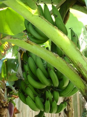 Bunch of green bananas on tree