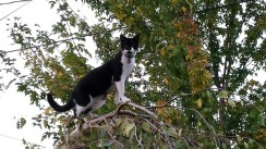 Black and white cat climbs weeping birch