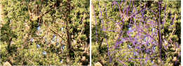Side by side pictures of the same cropped section from larger picture.  On the right is the version in which I highlighted in purple the branches of the tree that seem to form some kind of structure.
