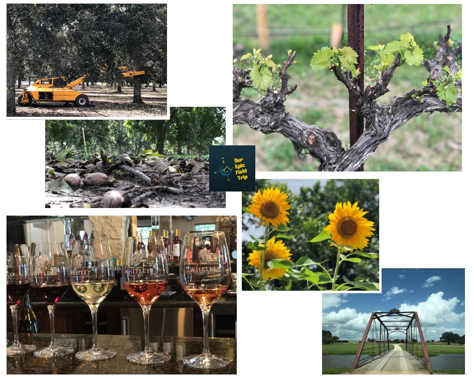 Texas pecan harvest and wineries
