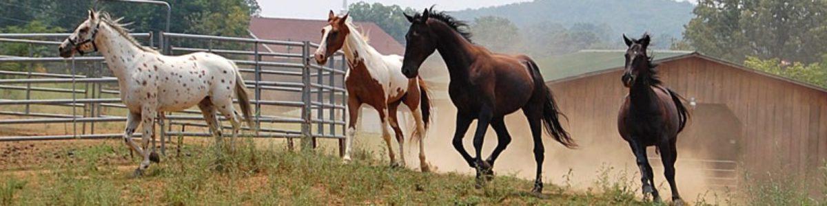 Four horses running