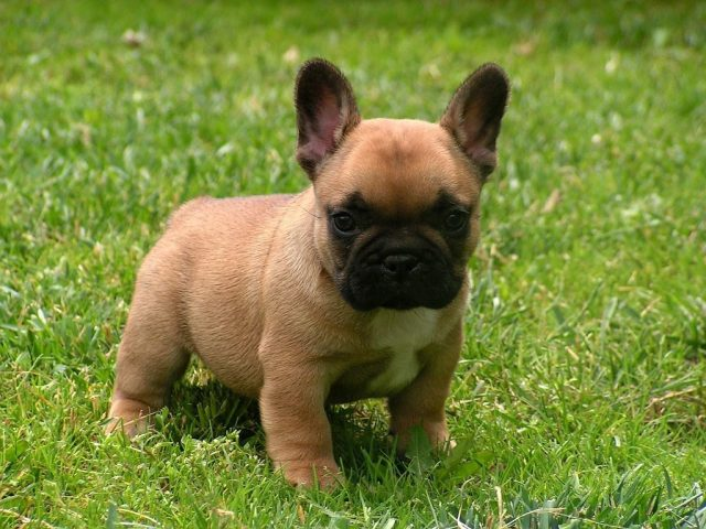 how to choose a french bulldog from a breeder - ourfrenchie