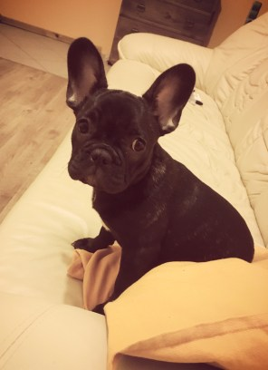 First time at home French bulldog
