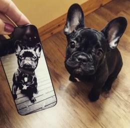 French bulldog puppy temperament