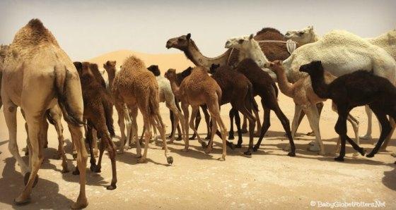 Camels en route to Arabian Nights Village