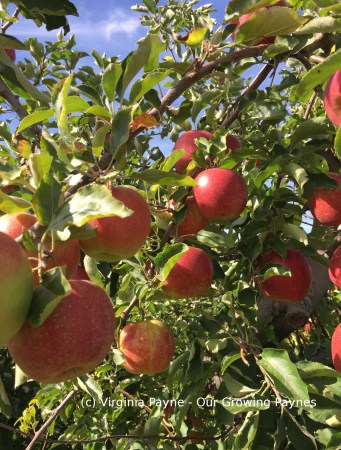 Apple Picking 2 2015