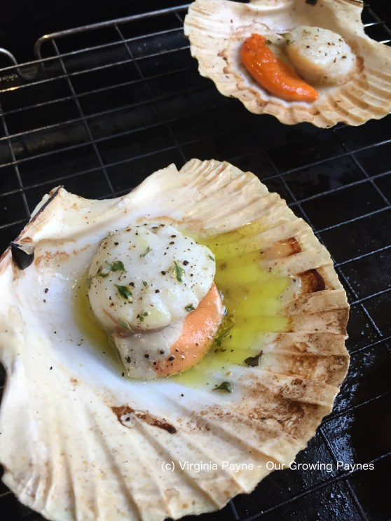 Scallop in the shell 3 2017