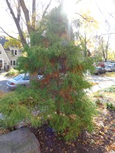 front tree after 10/17/15 weekend (browning)