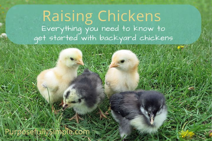 Raising Chickens: How to Get Started with Backyard Chickens
