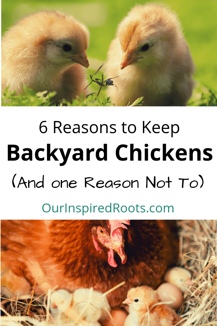 Considering backyard chickens? I can't imagine a homestead without a flock of them. Here are 6 reasons to go for it (and one reason to reconsider). #backyardchickens #chickens