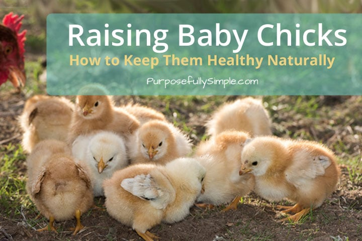 Raising Baby Chicks: How to Keep Them Healthy Naturally