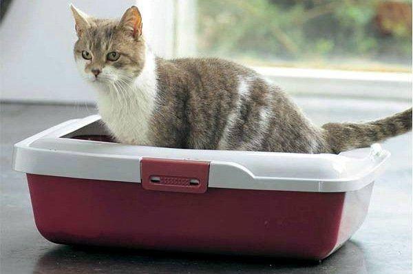 Jika kucing tidak terlalu banyak berjalan - tunjukkan ke dokter hewan.