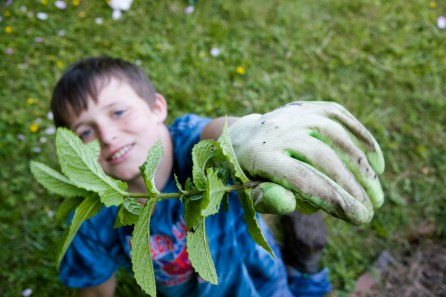 A young helper gathers mint in the herb garden