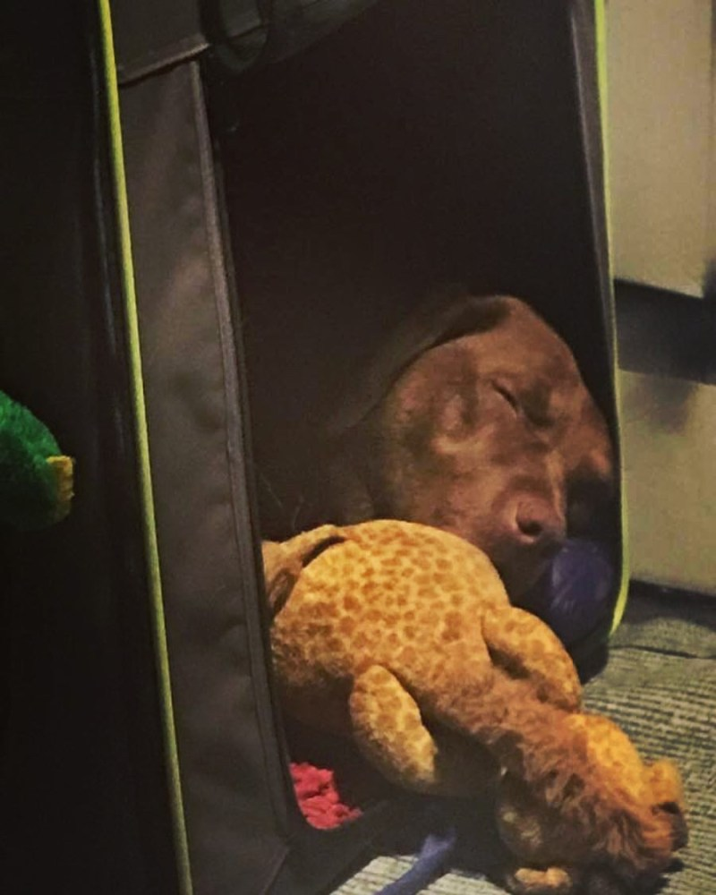 Bentley our travelling Labrador's fast asleep with his toys