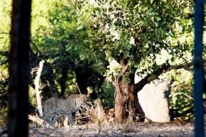 Leopard, Letaba Staff village, KNP