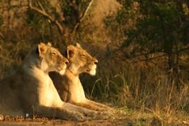 Muntze lionesses