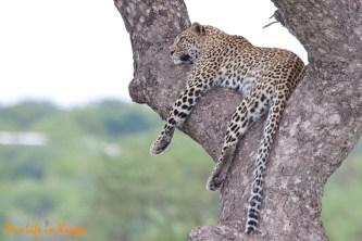 Marula Leopard
