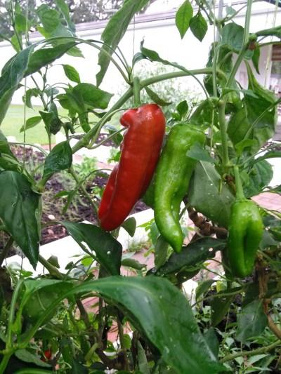 2 peppers in garden