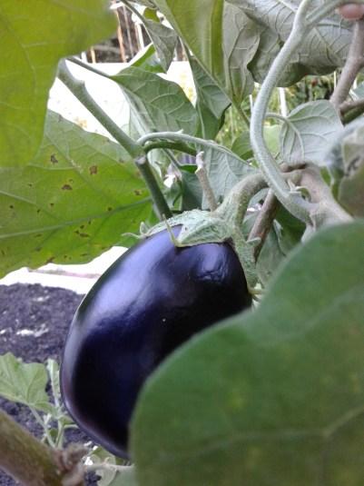 purple-eggplant-on-plant